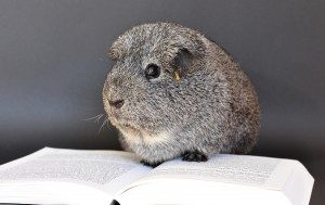 Guinea Pig Reading a Book